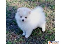 Micro Pui Fericit Pomeranian pentru adoptie